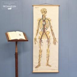Medische schoolplaat skelet