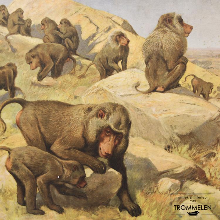 Dubbelzijdige schoolplaat: bavianen / rivierkreeft
