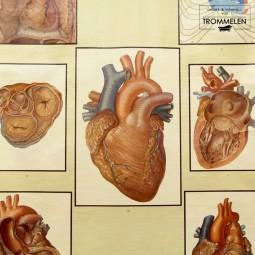 Schoolplaat van het menselijk hart