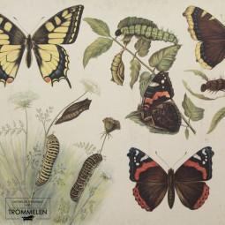 Dubbelzijdige schoolplaat: vlinder / melkkoe