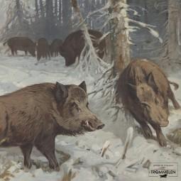 Dubbelzijdige schoolplaat: zwijn / walrus